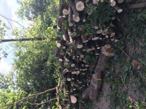 Pielęgnacja i wycinka drzew10